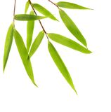Bamboo leaves isolated Stock Photo