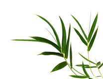 Bamboo- leaves. Bamboo leaves isolated on white Royalty Free Stock Photos