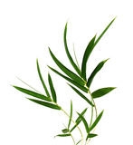 Bamboo- leaves. Bamboo leaves isolated on white Royalty Free Stock Photo