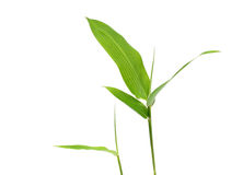 Bamboo leaves. Isolated on white background Royalty Free Stock Photography