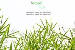 Bamboo leaves isolated on white background with sample text Royalty Free Stock Image