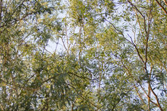 Bamboo leaves in a jungle background. Thailand Royalty Free Stock Photos