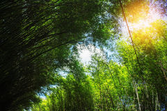Bamboo leaves are with light during a day. Royalty Free Stock Photo