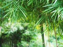 Bamboo leaves in the park. With copy space Stock Photos