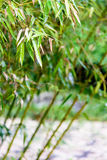 bamboo leaves in rain Stock Photography