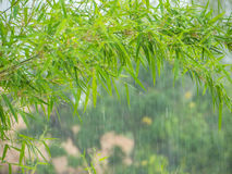 Bamboo leaves and raining Stock Images