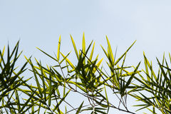 Bamboo leaves. Stock Photos