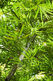 Bamboo Leaves in southern Thailand's Jungle Forest Stock Photography