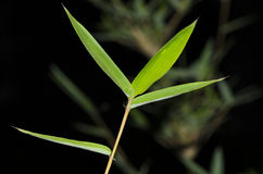 Bamboo Leaves. Spring bamboo leaves in Nanjing, China, it's vivacious Stock Photo