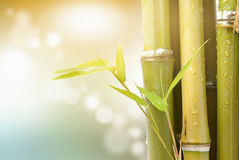 Bamboo. Leaves and stem with dew drops, close-up Royalty Free Stock Photography