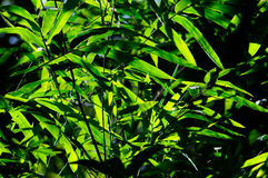 Bamboo leaves with sun light Royalty Free Stock Image