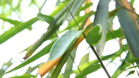 Bamboo  leaves  with  sunlight, chiangmai Thailand.  stock video