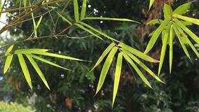 Bamboo leaves and sunlight in the evening. Natural light background stock video