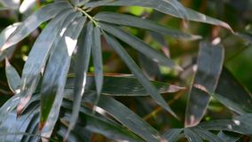 Bamboo leaves at the sunny day stock footage