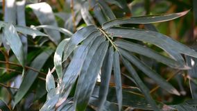 Bamboo leaves at the sunny day stock video