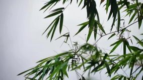 Bamboo Leaves Swaying in the Wind stock footage
