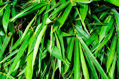 Bamboo leaves texture background Royalty Free Stock Photos