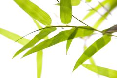 Bamboo leaves on thin branches Royalty Free Stock Photo