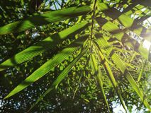 bamboo leaves. royalty free stock photo