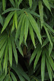 Bamboo leaves wall texture background. Stock Images