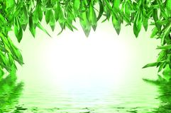 Bamboo leaves with water reflection Stock Photos