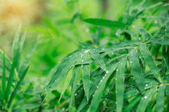 Bamboo leaves of wet after rain. Drops on bamboo leaves and the wet after rain Stock Photo