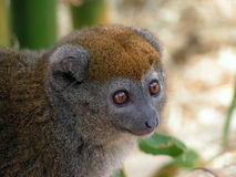 Bamboo Lemur Royalty Free Stock Photography