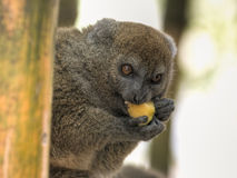Bamboo Lemur. Eastern Grey Bamboo Lemur (Hapalemur griseus griseus) feasting on a mango. Also called Eastern Lesser Bamboo Lemur or Gray Gentle Lemur. Endemic to stock photo