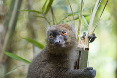 Bamboo Lemur. Greater Bamboo Lemur (Hapalemur simus). Critically endangered and endemic to southeastern Madagascar. Ranomafana National Park, Ranomafana stock photo
