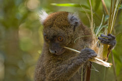 Bamboo Lemur. A Greater Bamboo Lemur (Hapalemur simus) eating bamboo Stock Photo