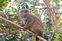 Bamboo lemur close up Royalty Free Stock Photo