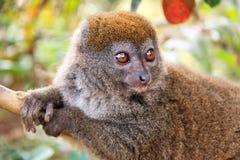 Bamboo lemur close-up Stock Photography