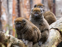 Bamboo lemur. A group of Bamboo lemurs on a branch Stock Image