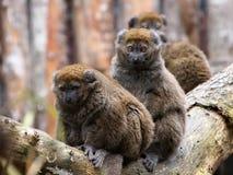 Bamboo lemur Stock Image