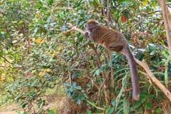 Bamboo lemur (Hapalemur griseus) Stock Images