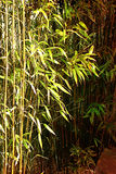 Bamboo in Light and Shade Stock Photography