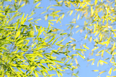 Bamboo with light sky blue for background Royalty Free Stock Photos