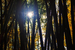 Bamboo with light from the sun. Royalty Free Stock Images