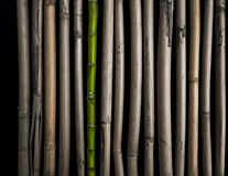 Bamboo, Live and Cut Stock Images