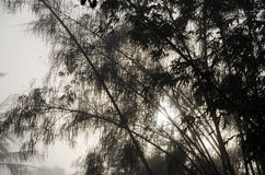 Bamboo among mist Stock Photography