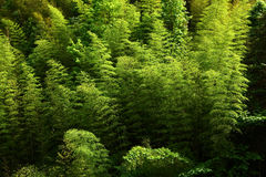Bamboo in mountain Stock Photo