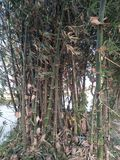 Bamboo nature tree stock photos
