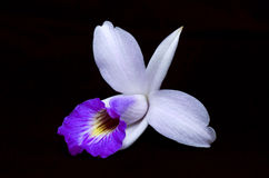 Bamboo orchid Stock Images