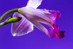 Bamboo orchid - Arundina graminifolia Royalty Free Stock Photos