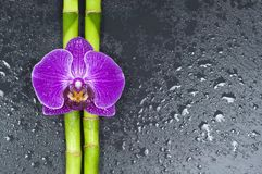 Bamboo and orchid on black background royalty free stock images