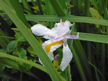 Bamboo Orchid Flower After a Rain Stock Photography