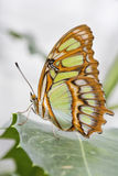 Bamboo Page or Dido Longwing butterfly Stock Photography