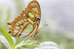 Bamboo Page or Dido Longwing butterfly Royalty Free Stock Photography