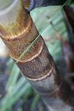 Bamboo palm. Close up of a bamboo palm Royalty Free Stock Photo