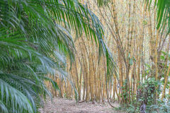 Bamboo and Palm Fronds. Multiple bamboo plants with palm fronds in the foreground royalty free stock photos